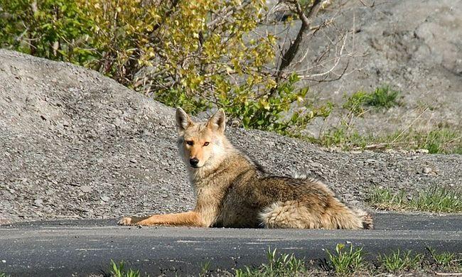 Bedrogozott farkasok rémisztgetik az autósokat