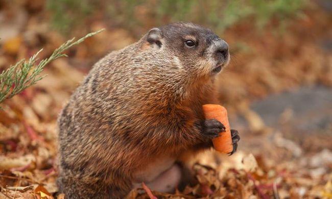Reggel répát evett, estére elpusztult az időjós mormota