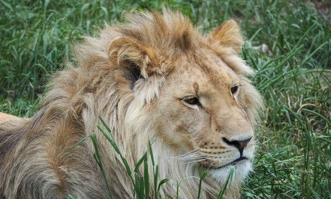 Ismeretlen oroszlánpopulációt találtak