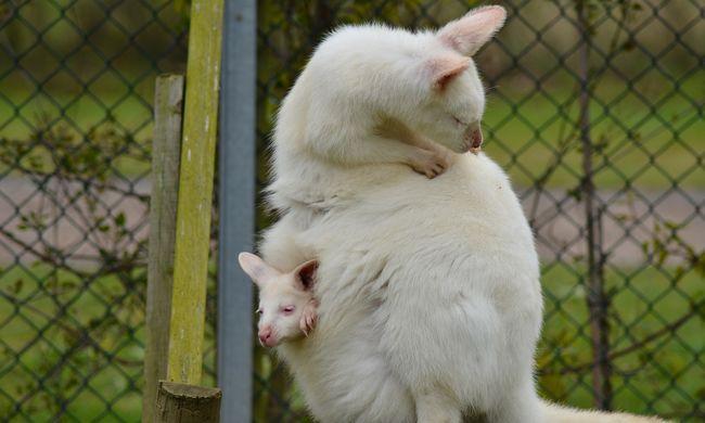 Szándékosan elütött 17 kengurut