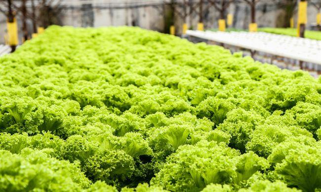 Napi harmincezer fej salátát termesztenek a robotok