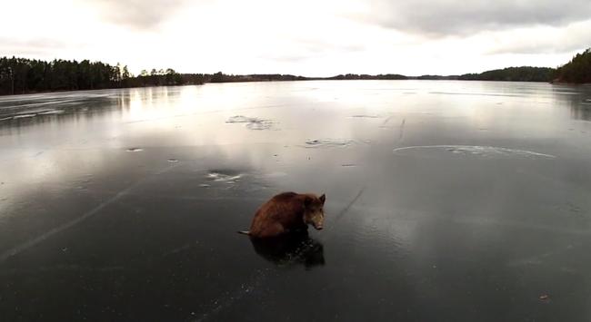 Korcsolyázók mentették ki a jégen rekedt vaddisznókat - videó
