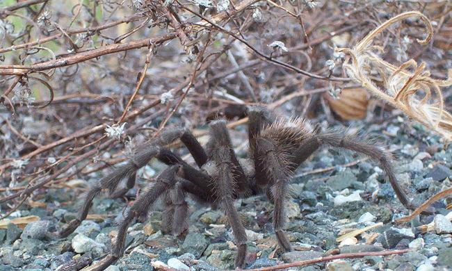 Egyedül terített le egy emlőst egy pók, a tudósok végignézték