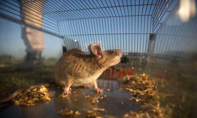 Felmászott a patkány a vendég lábán a kocsmában