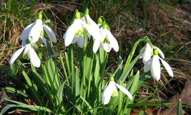 Mégis megérkezett a tavasz? A hóvirágoknak ez a véleménye