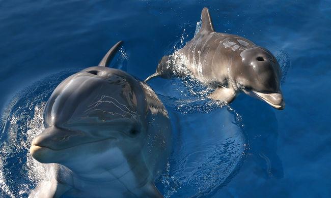 Szexuális erőszak, vérfertőzés és gyerekgyilkosság: ez a delfinek sötét arca