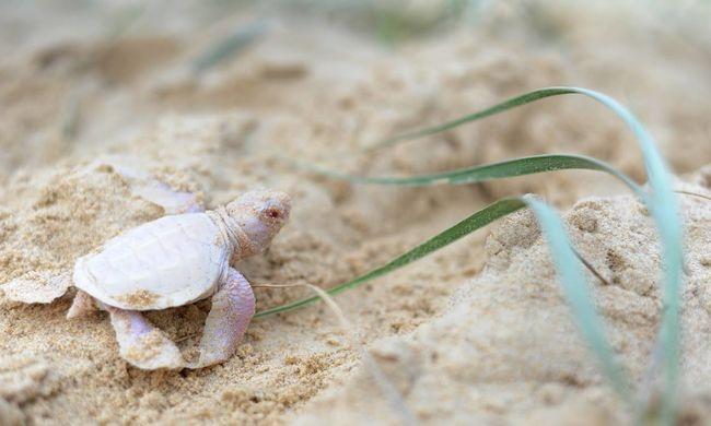 Nagyon ritka albínó teknőst találtak - fotók