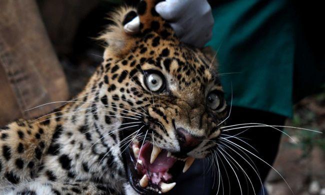 Leopárd támadott az iskolában, hatan megsebesültek