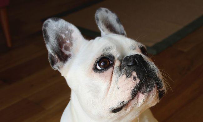 Több millió kövér kutyának kellene koplalnia Nagy-Britanniában