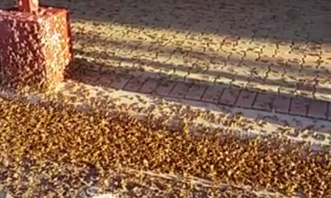 Több ezer molylepke lepte el az utat - hátborzongató videó