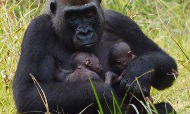 Orvvadászoktól védi apjuk a gorillaikreket - videó