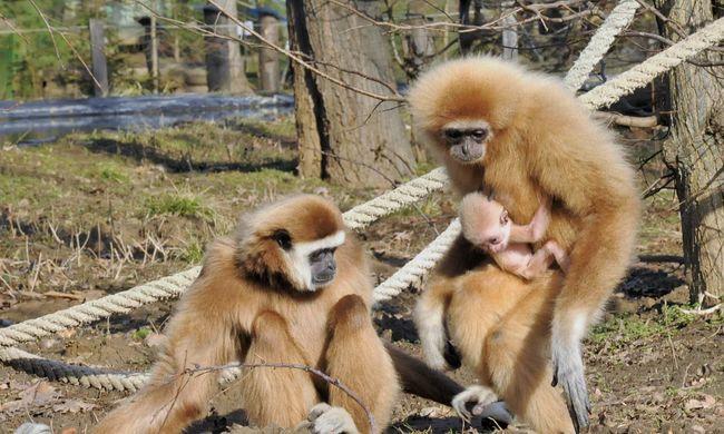 Fehérkezű gibbon született Nyíregyházán