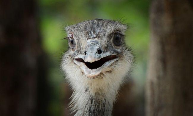 Hatalmas dugó a főúton egy eltévedt emu miatt