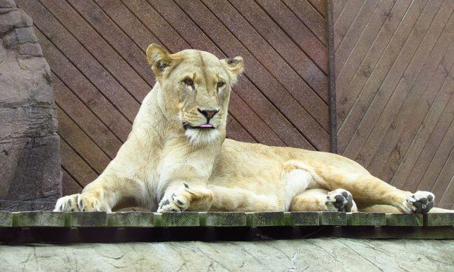 Súlyosan megsérült az állatkerti gondozó, rátámadt az oroszlán