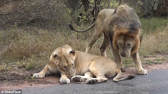 Fenékharapással udvarolt az oroszlán, a nőstény pofonnal viszonozta - videó