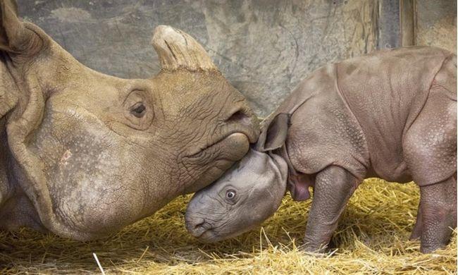 Veszélyeztetett orrszarvú született - videó