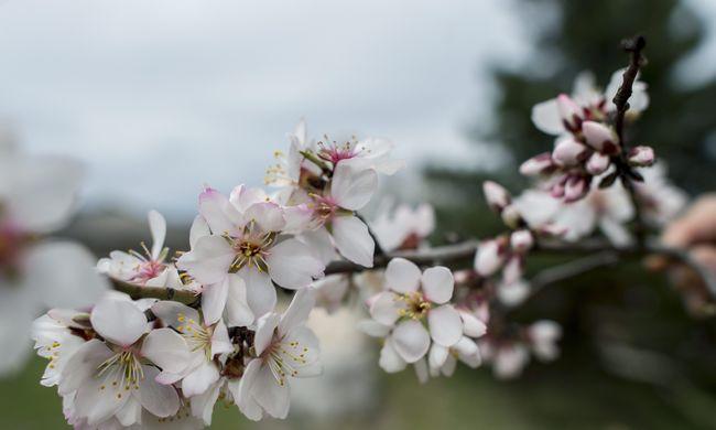 Virágzik a mandulafa Villányban