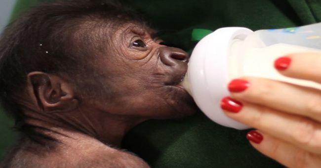 Császármetszéssel született a bristoli állatkert gorillabébije