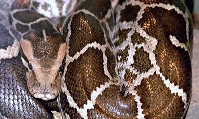 Háromméteres kígyó marta meg az alvó kisfiút