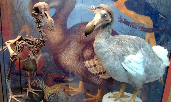 Mégsem volt együgyű a dodó