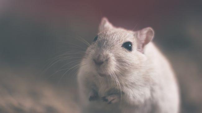 Májkárosodást okozott az űrutazás az egereknél