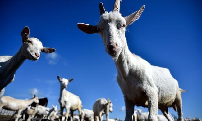 Kirúgják a kecskéket, mert drágák és büdösek
