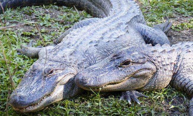 Krokodilok őrizték a drogkereskedők pénzét
