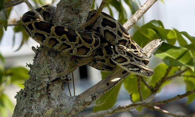 Több mint 100 óriáskígyót fogtak be Floridában