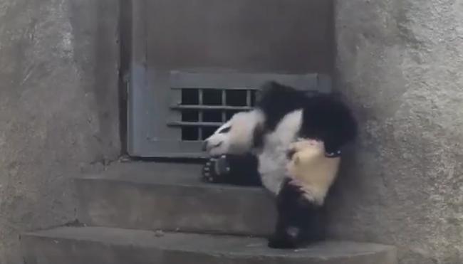 A kispanda bármit megtenne, hogy megnézhesse, mi van odakint - videó