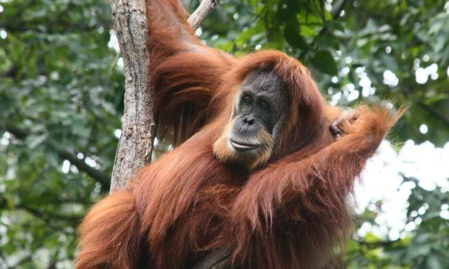 Családjával látogatott az állatkertbe a férfi, aki cigit adott egy orangutánnak