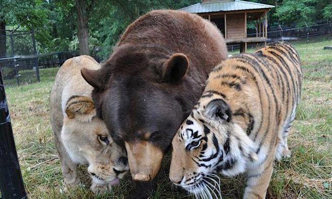 Furcsa testvérek: 15 éve nem mozdul egymás mellől a tigris, az oroszlán és a medve