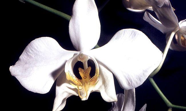 """A lepkeorchidea lesz a tavaszi orchideakiállítás """"főszereplője"""""""