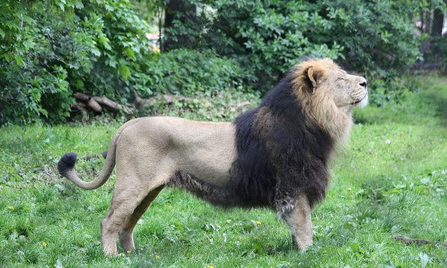 Álmában támadták meg a fiút az oroszlánok, meghalt