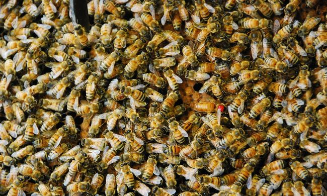 Méhek lepték el a főutat, áll a forgalom Vas megyében