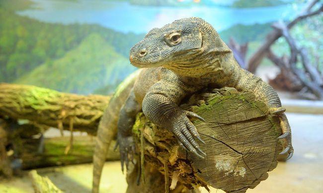 Veszélyes sárkánygyíkok költöztek a Nyíregyházi Állatparkba
