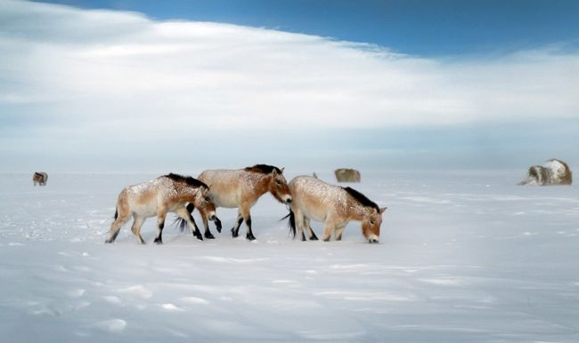 Kis híján kihaltak, most visszatérnek a sztyeppére az ázsiai vadlovak