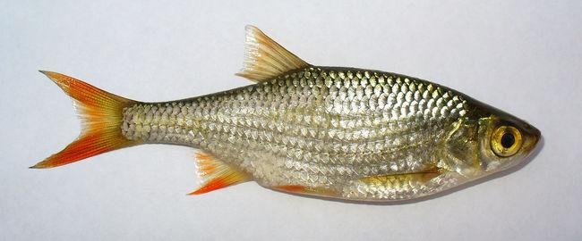 Még több hal lesz a Balatonban