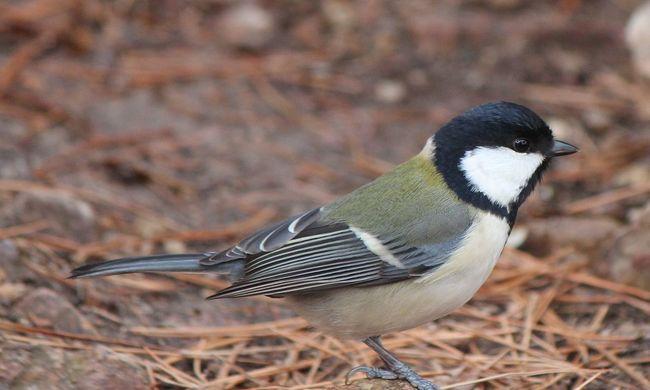 A madarak is mondatokkal kommunikálnak a kutatók szerint
