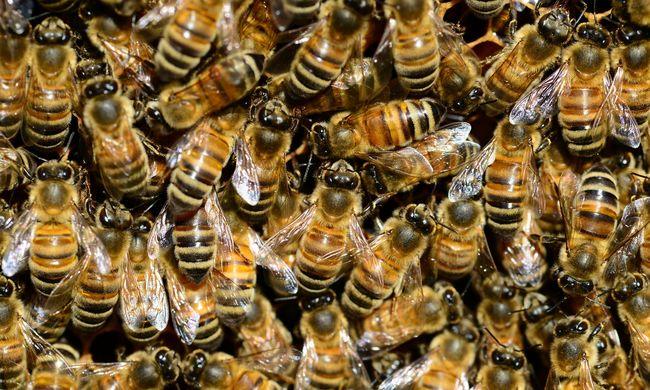 Többezres méhrajok támadnak Budapesten
