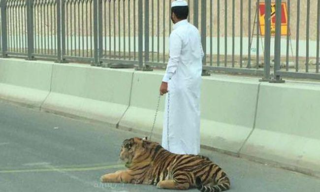 Elszabadult tigris ugrált az autók között - videó