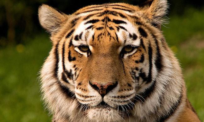 Tigrisek téptek halálra egy nőt a vadasparkban