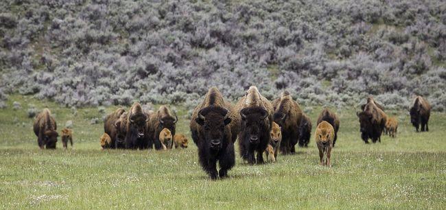 Bölényeket engednek szabadon ott, ahol már a medvék is elszaporodtak