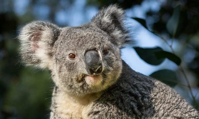 Belopózott egy puma az állatkertbe és megevett egy koalát