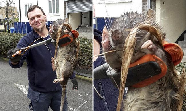 Akkora patkányt találtak egy játszótéren, mint egy 6 éves gyerek