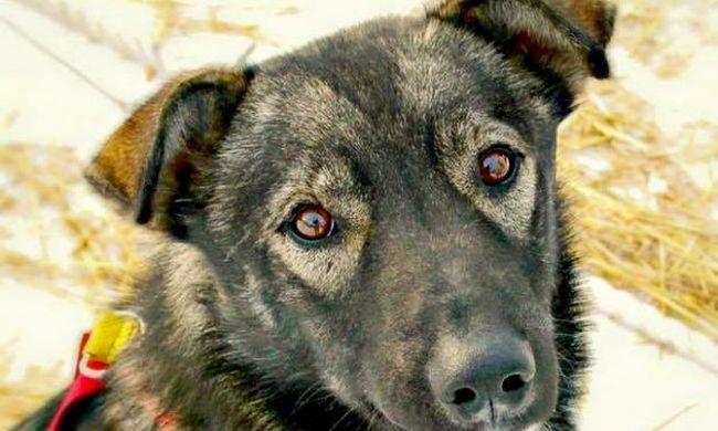 Feladta magát a kutyagyilkos, aki egy szánhúzó versenyen ölt