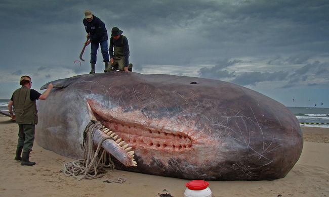 Elképesztő mennyiségű műanyagot halmozunk fel, egy bálna gyomrában 29 kilót találtak