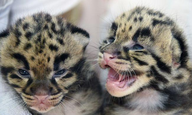 Betiltották a leopárdvadászatot