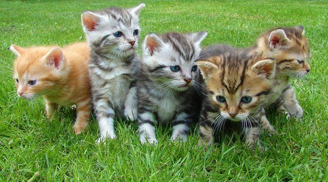 A kiscicák képesek felismerni az anyjuk nyávogását