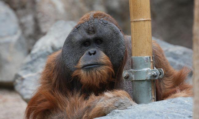 Elszomorító felvétel: cigiző orángutánt videóztak