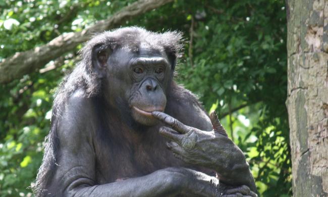 Leharapott pénisz, női dominancia és rengeteg szex: ilyen a bonobók élete